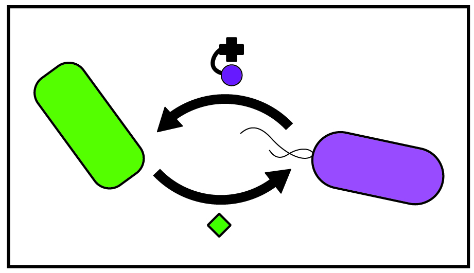 Mutualism: purple microbe producing corrinoid that it being cross-fed to green microbe, then green microbe produces a nutrient that is cross-fed to the purple microbe